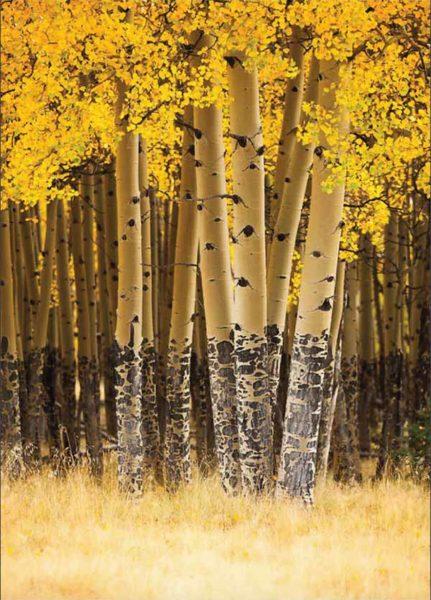 Taos Aspen Forest